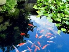 KOI PONDS by Tranquility Gardens