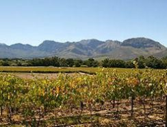 Paarl Vineyrds - Cape Winelands