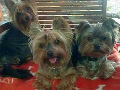 We assist with the re-homing of Yorkies