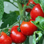 Grow great tomatoes …free from chemical pesticides